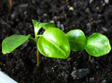 3 Tips for Transplanting Seedlings to the Garden