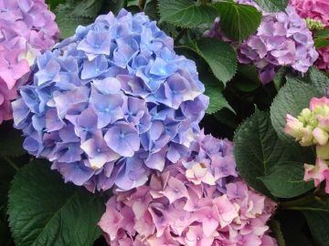 Your Plant Care Guide to Blooming Hydrangeas for Summer